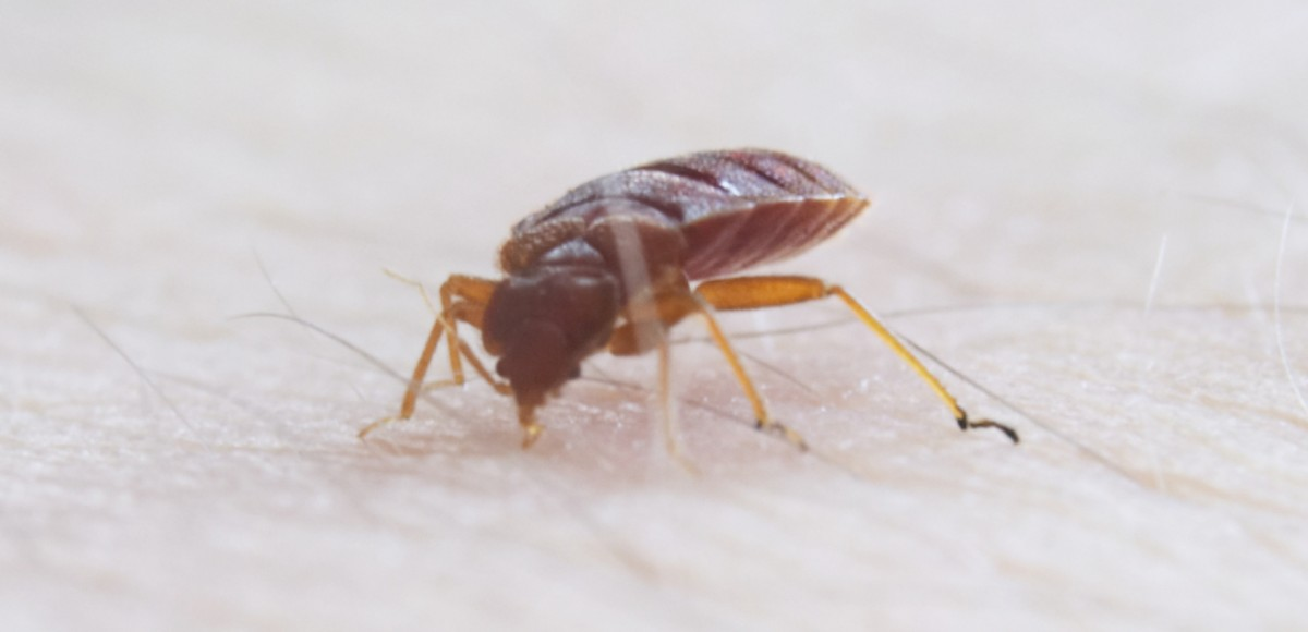 DIY Bed Bug Control   Triangle Pest
