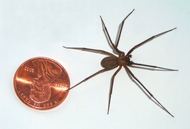 a brown recluse spider next next to a penny for size reference