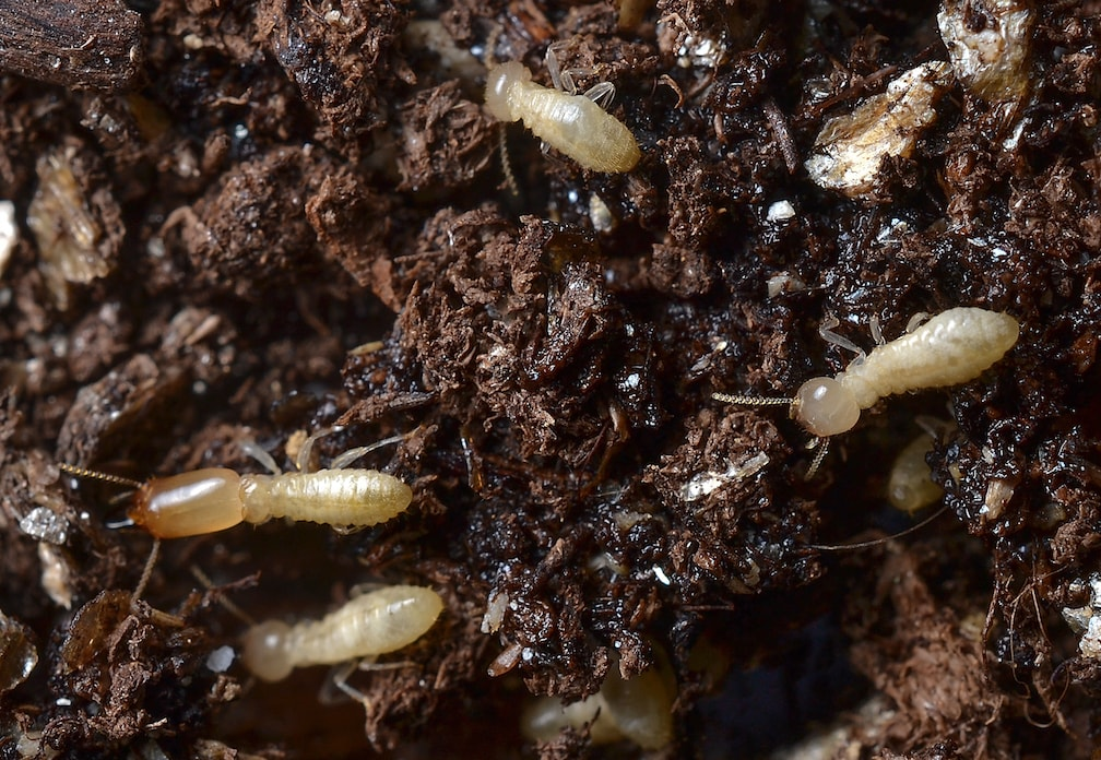 Subterranean Termites Triangle Pest Control