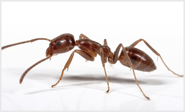 Argentine Ants