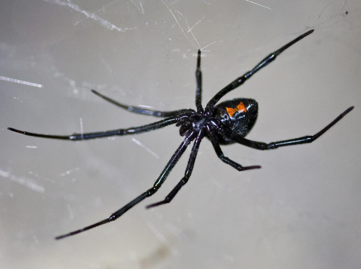 female black widow spider with red hourglass marking on a web