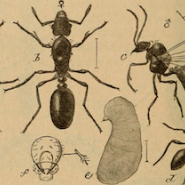 illustration of types of ants