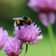 Bumble Bees vs. Carpenter Bees