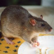 a rat eating food off of a plate