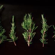 rosemary-plant-mosquito-repellant