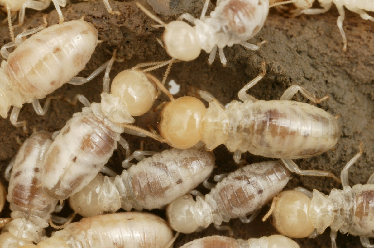 How To Identify Termites Triangle Pest Control